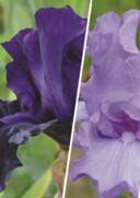 Bons Plans Delbard Dreux : 3 iris en conteneur achetés = -15% de réduction sur une sélection