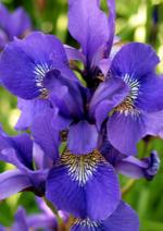 Catalogues et collections Delbard : Découvrez la plante du mois de juin